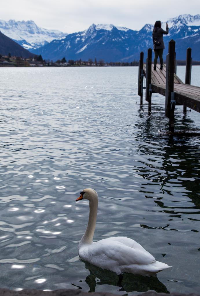 Swan on Lake Geneva Switzerland